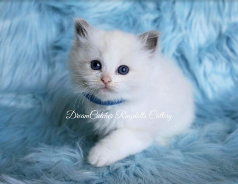 Aster Male Blue BiColor Ragdoll kitten