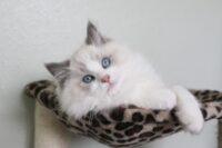 Male, Blue Bicolor Ragdoll kitten