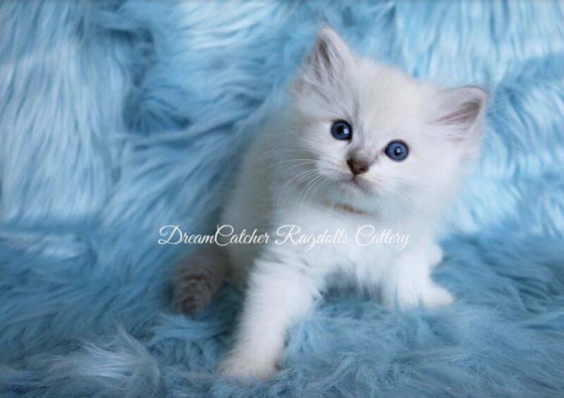 Indigo Male Blue Lynx BiColor Ragdoll kitten