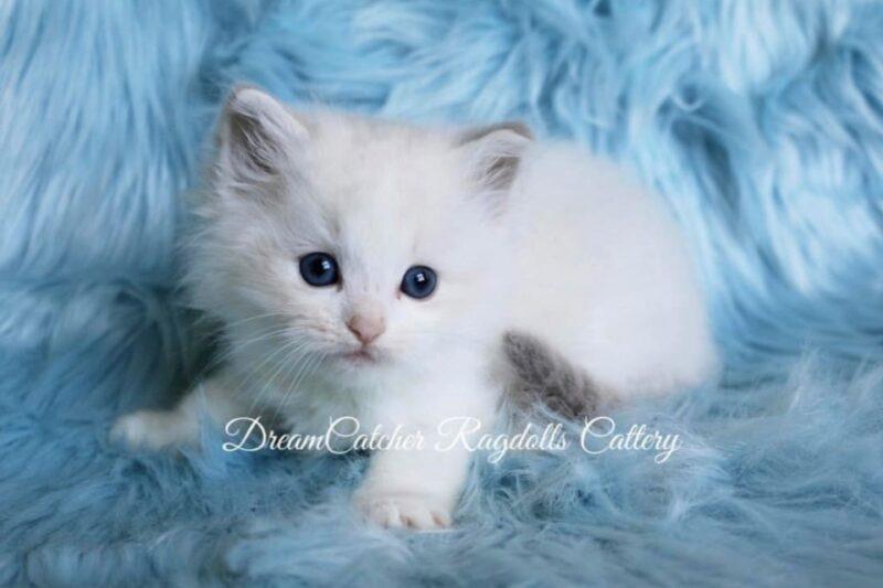 Poppy Male Blue Lynx BiColor Ragdoll kitten