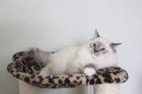 Male, Seal Lynx Mitted Ragdoll kitten