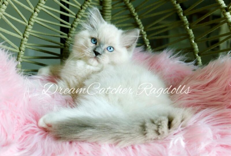 Bowser Male Blue Mitted Ragdoll kitten