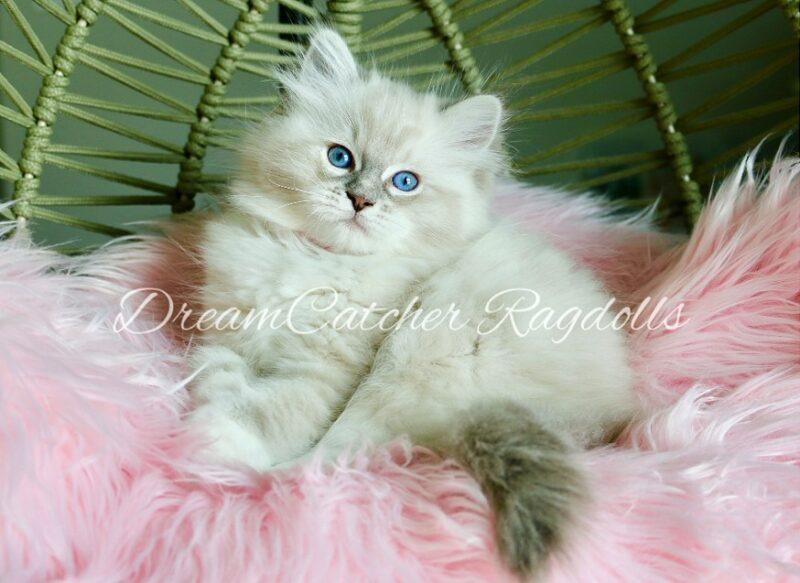 Kirby Female Blue Lynx Mitted Ragdoll kitten