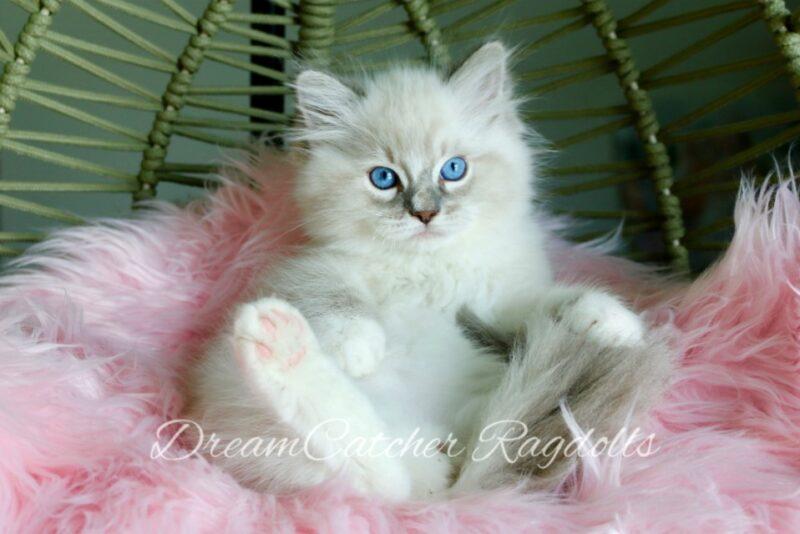 Link Male Blue Lynx Mitted Ragdoll kitten