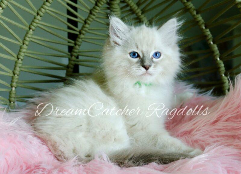 Yoshi Male Blue Lynx Mitted Ragdoll kitten